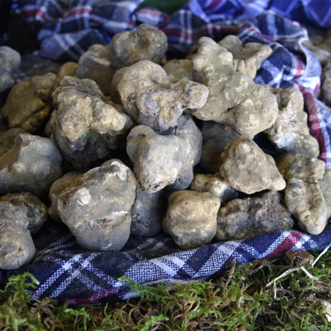 White Truffles in Alba