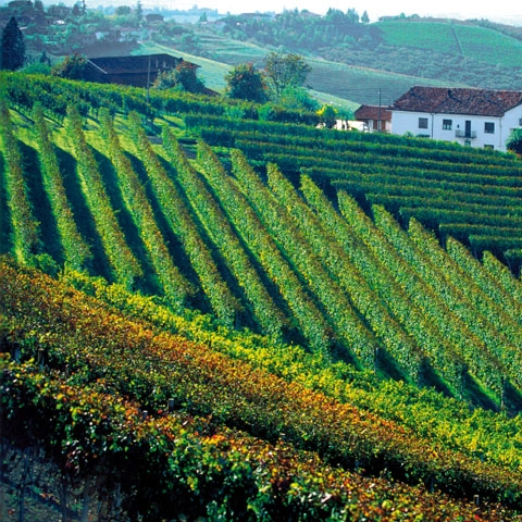 Langhe Vineyard