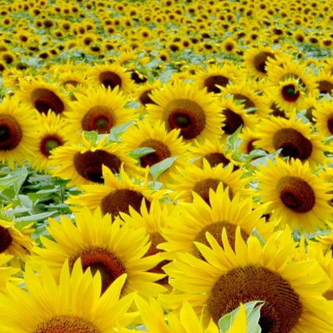 Montalcino Sunflowers