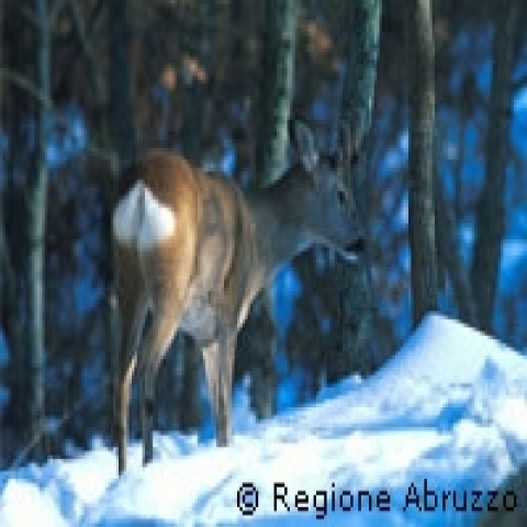 Abruzzo Italy wildlife in snow