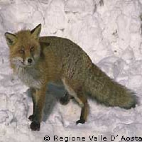 Aosta Valley Italy fox