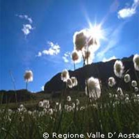 Aosta Valley Italy cotton grass