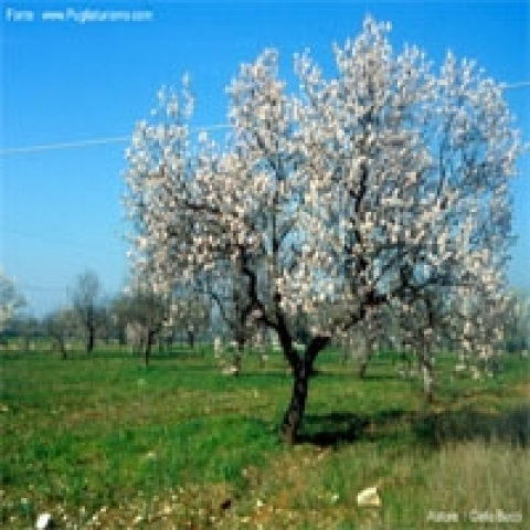 Blooming almond tree Apulia Italy