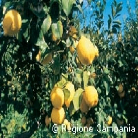 Lemon trees Capri Italy