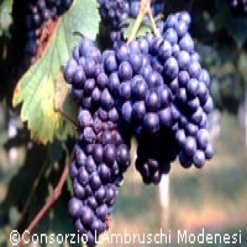 Lambrusco grapes Modena Italy