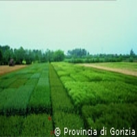 Green fields near Gorizia Italy