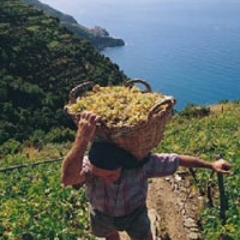 Grape harvest Cinque Terre Italy