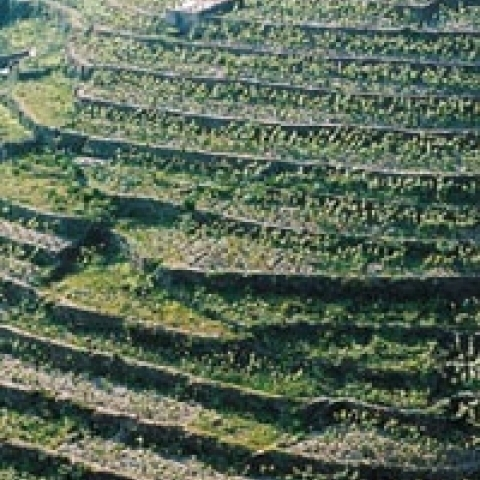 Typical vineyards of Cinque Terre Italy
