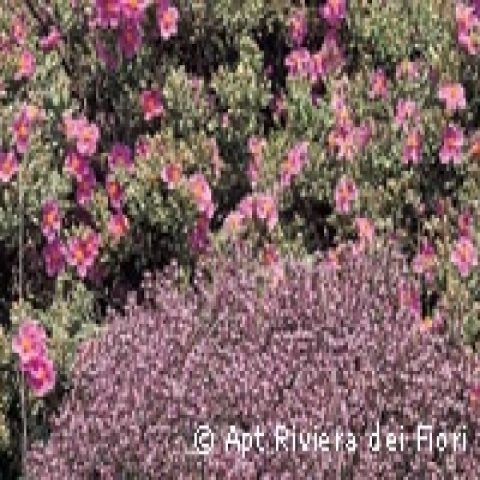 Flowers in Rapallo Italy