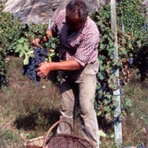 Grape harvest Lombardy Italy