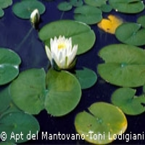Water lillies Lombardy Italy