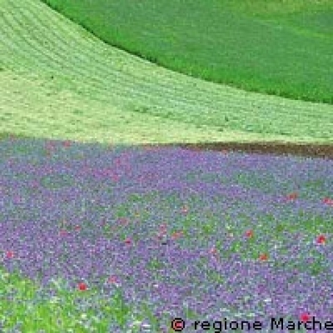 Wildflowers in Sibillini Mountains Marche Italy
