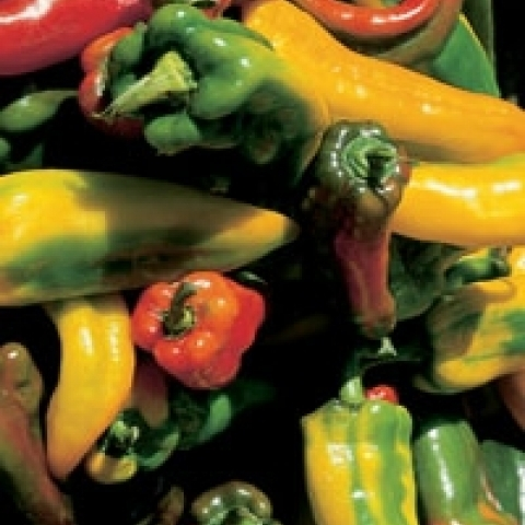 Fresh peppers from Alba Italy