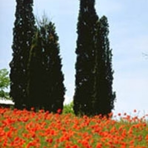 Poppies and cypresses in Tuscany Italy