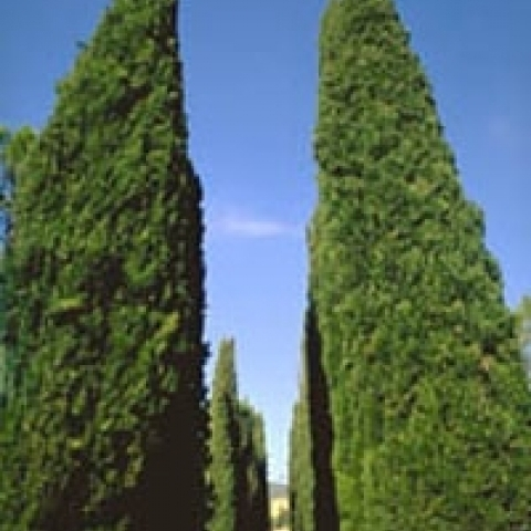 Typical Tuscany avenue with cypresses Italy