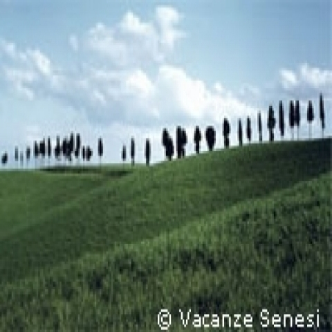 A line of cypresses in Tuscan countryside Italy