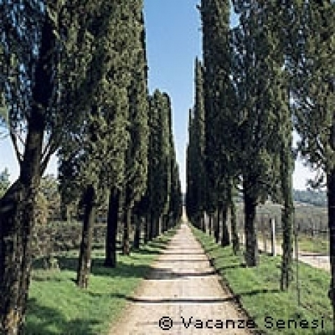 A boulevard of cypresses in Tuscany Italy