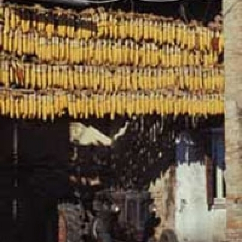 Cobs stored in a local farm around Padua Italy