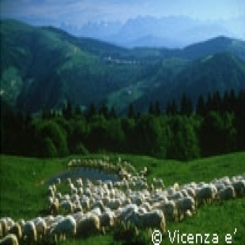 Sheep in Treviso hills Italy