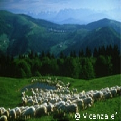 Sheep in Asiago plateau near Vicenza Italy