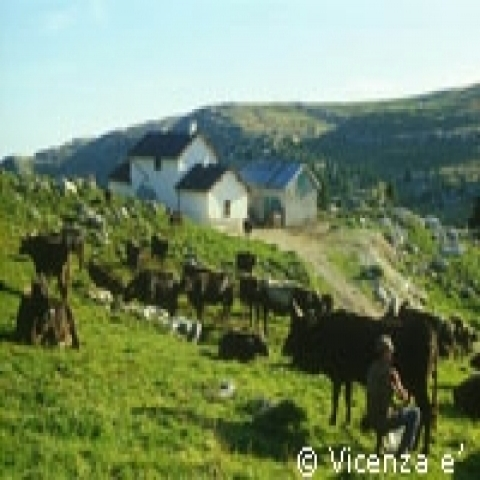 Cows in Asiago plateau near Vicenza Italy