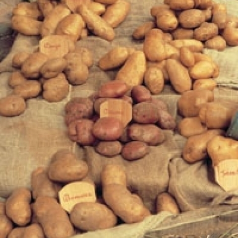Typical potatoes from Vicenza area Italy