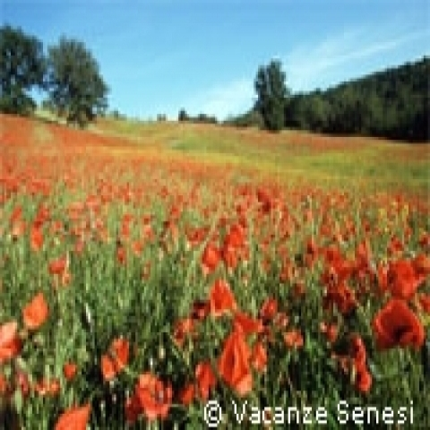 Red poppies field in Siena Italy