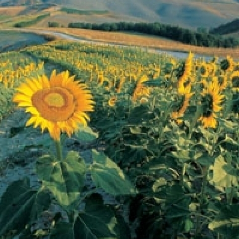 Sunflowers in Siena countryside Italy