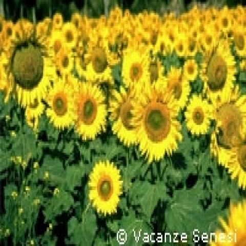 Blooming sunflowers in Siena countryside Italy