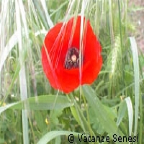 Red poppies bloom in Spring in Siena countryside Italy