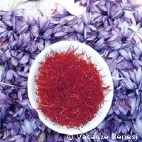 The precious saffron grown in San Gimignano area Italy