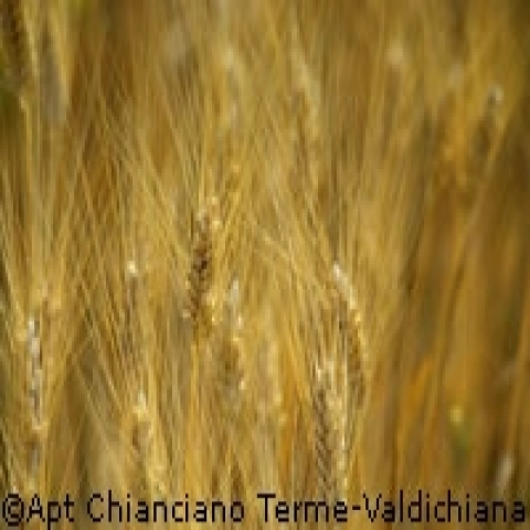 Cornfield in Montepulciano Italy