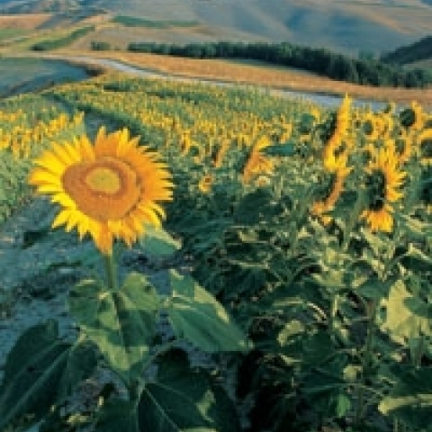 Sunflowers in Montalcino countryside Italy