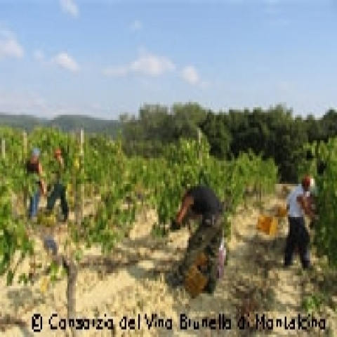 Brunello vineyards in Montalcino Italy