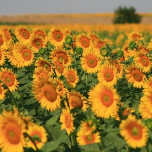 Tuscany Sunflowers Field Blooming Hill Country