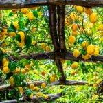 Campania Amalfi Coast Lemon Grow Food