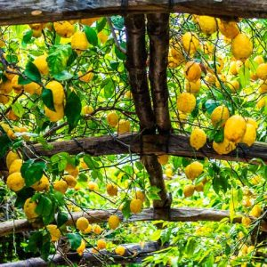 Campania Amalfi Coast Lemon Grow Food