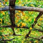 Campania_Amalfi_Coast_Sorrento_Lemongrow_Food_480x480_GL01