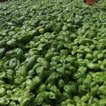 Liguria_Food_Basil_Coltivation_Pesto