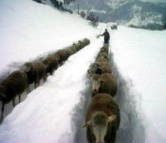 Abruzzo: Inhabitants Rescued from Isolation Thanks to Sheep
