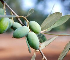 Olives on tree in Apulia Italy