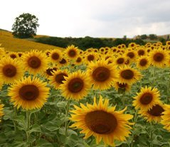 Tuscany Italy sunflower field panorama
