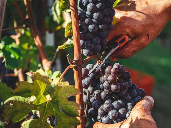 Piedmont_Langhe_Food_Nebbiolo_Grapes_Harvest