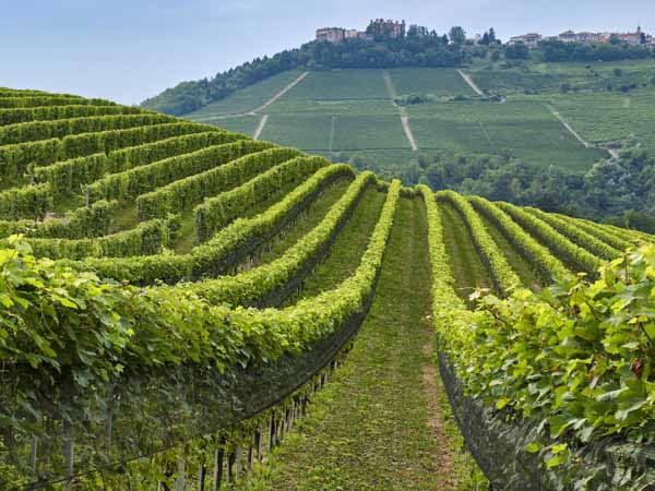 Piedmont_Langhe_Food_Wineyard_wine_View_green_