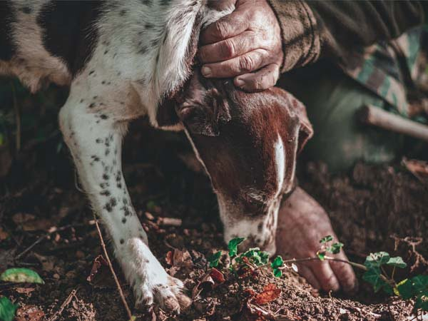 Piedmont_Langhe_Food_truffle_hunt_dog_culture